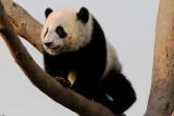 Panda cub climbing a tree at Chengdu