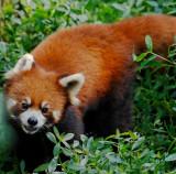Red Panda, Chengdu