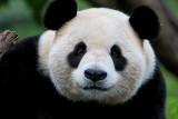 Adult panda, Wolong