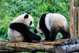 Panda cubs playing at Wolong