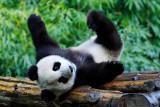 A Panda Cub in an unusual meditation pose, Wolong