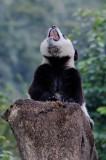 Panda cub yawning, Wolong