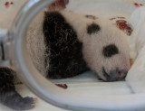 Very young panda cub in the nursery at Wolong