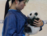 A Wolong employee checks on a young panda cub in the nursery