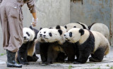 Panda cubs assemble for feeding time, Wolong