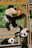 Panda cubs playing on a swing, Wolong, with one hanging by one paw!