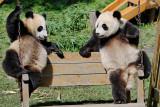 Two panda cubs sharing a swing, Wolong