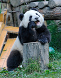 A panda cub with a morning snack