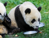 Panda cubs are messy eaters ...