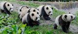 A group of panda cubs, Wolong