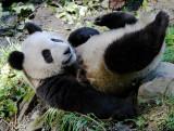 A panda cub preparing to roll backwards down a hill