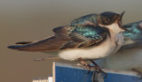 Tree Swallow, E.L. Huie Ponds