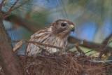 Nesting Female Red-shouldered Hawk, Mercer Wetlands
