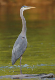Great Blue Heron, Cochran Shoals