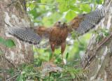 Red-shouldered Hawk, Cochran Shoals