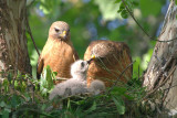 Red-shouldered Hawks with chicks, Cochran Shoals