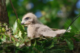 Red-shouldered Hawk chick, Cochran Shoals