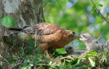 Red-shouldered Hawk with chicks, Cochran Shoals