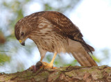 Immature Female Red-shouldered Hawk with food for chicks, Mercer Wetlands