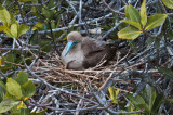 Nesting Red-footed Boobie