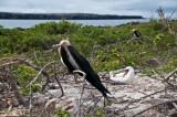 Frigatebird and Masked Boobie on Its Nest