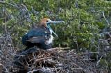 Frigatebird on Nest