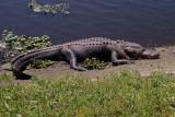 Large Gator Sunbathing