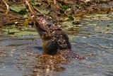 Gator Eating a Large Fish