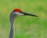 Cranes, Cormorants and Limpkins