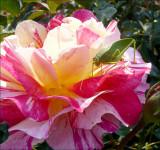 Delbard rose