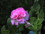 P8090255.PinkPetunia-c8.jpg