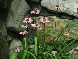 0278.PinkConeflower
