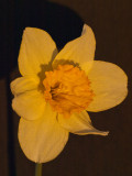daffodils_2010