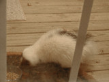 Skunk-White-5627