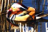 Mandarin duck (from China!)