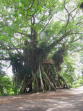 Banyan with treehouse