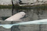 Baby Beluga II (w/Mum)