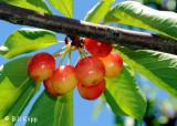 Brentwood Cherries 2