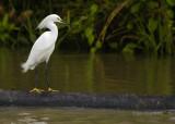 Snowy Egret, Amazon Peru