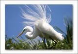 Egrets in Spring