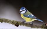 Birds of Sweden (133)