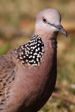 ::Spotted Dove::