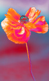 Coquelicot Coquin - Holy Popping Poppy