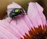 Fly on a Coneflower