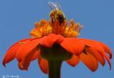 Honeybee on Orange Daisy
