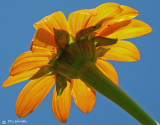 Backlit Daisy with an Ant or 2