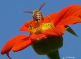 Honeybee on Daisy