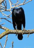 Preening Blackbird: I Think I Lost My Head!
