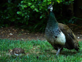 Peahen & Chickpea
