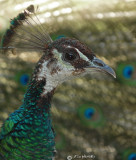 The Peahen